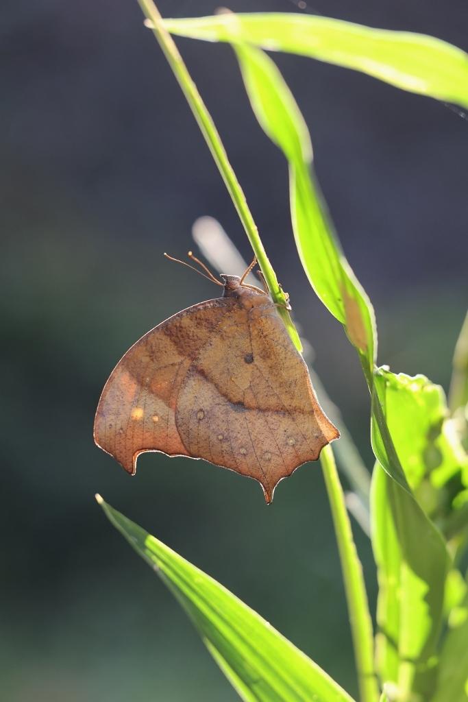 クロコノマチョウの羽化ぶら下りから開翅 その2_e0224357_21503402.jpg
