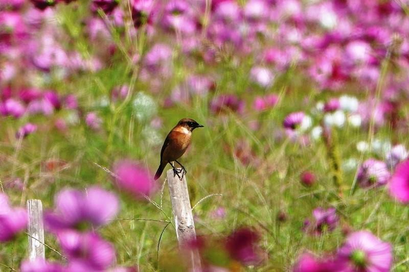 野鳥トレ273 ノビタキ_b0227552_20394333.jpg