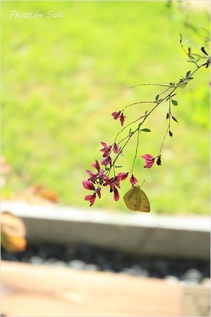 夏日といえども秋の花。_b0311208_16510525.jpg