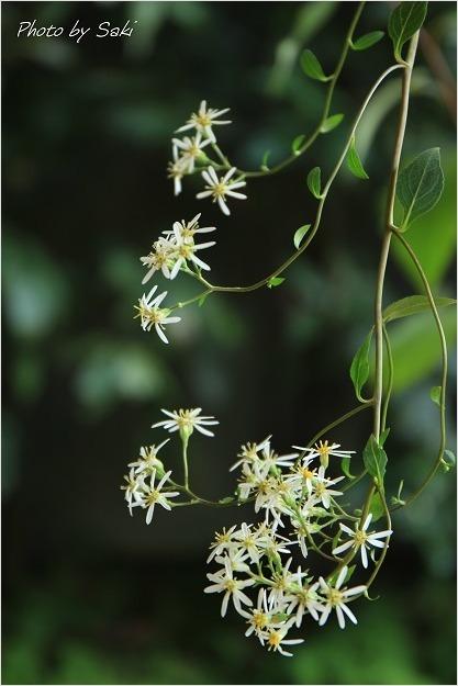 夏日といえども秋の花。_b0311208_16515327.jpg