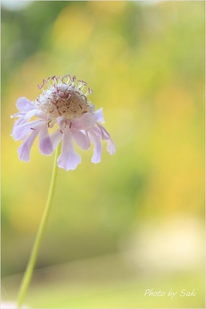 夏日といえども秋の花。_b0311208_16521034.jpg