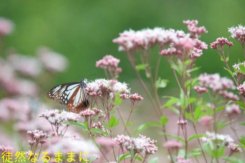 アサギマダラ(10/8・10/11)_d0285540_11330662.jpg
