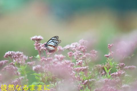 アサギマダラ(10/8・10/11)_d0285540_11331143.jpg