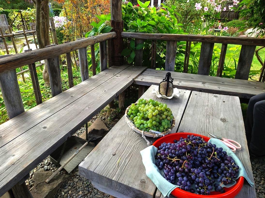 809、秋たけなわ、葡萄の収穫_e0323652_11541188.jpg