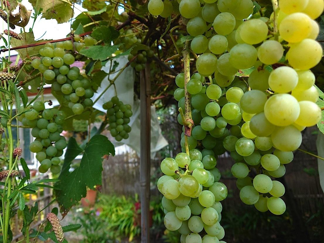 809、秋たけなわ、葡萄の収穫_e0323652_11541779.jpg