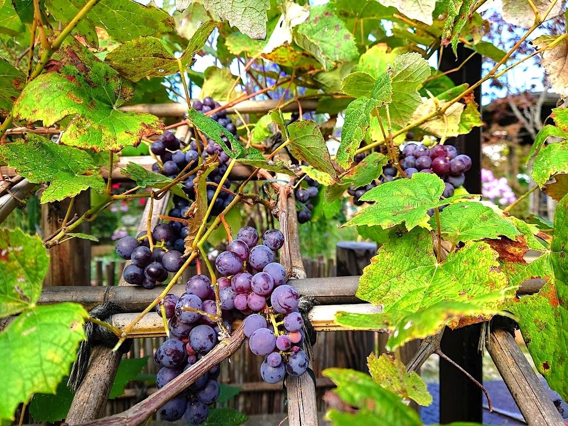 809、秋たけなわ、葡萄の収穫_e0323652_11542235.jpg