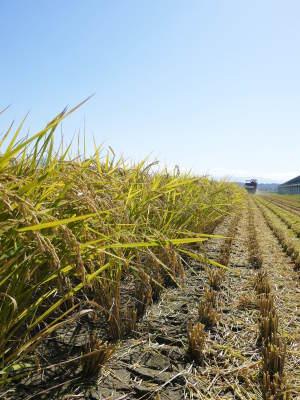 無農薬の『雑穀米』『発芽玄米』『米粉(微細粒米粉)』大好評販売中 稲刈りの様子を現地取材(2021)_a0254656_19360695.jpg