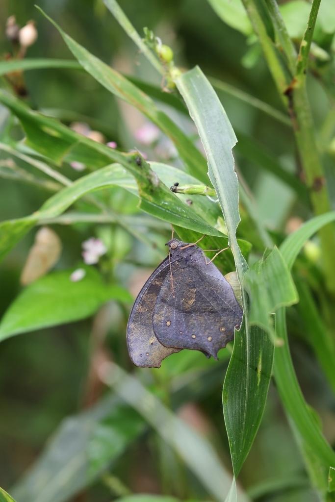 クロコノマチョウの羽化と開翅のラッシュ_e0224357_20014516.jpg