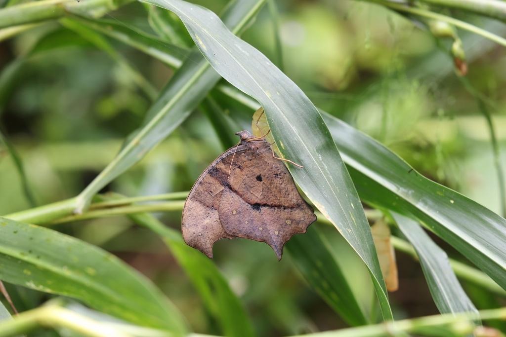 クロコノマチョウの羽化と開翅のラッシュ_e0224357_20024129.jpg