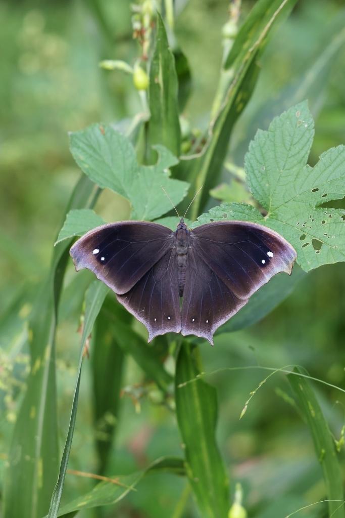 クロコノマチョウの羽化と開翅のラッシュ_e0224357_20105948.jpg