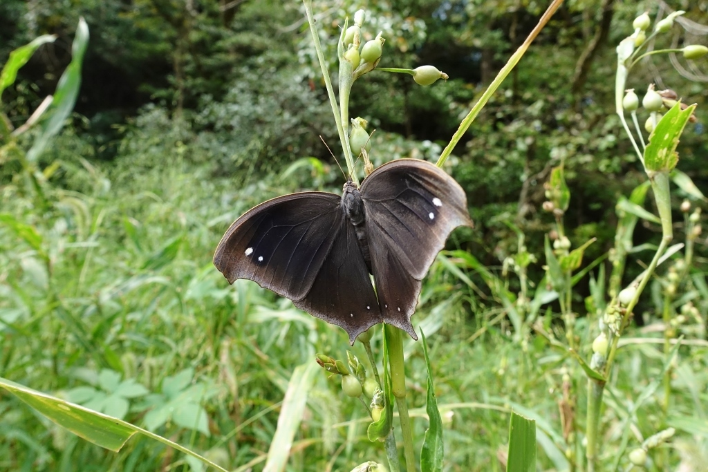 クロコノマチョウの羽化と開翅のラッシュ_e0224357_20144754.jpg