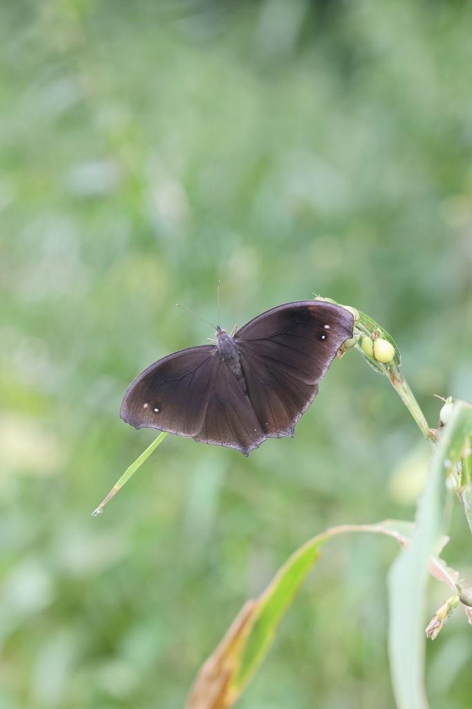 クロコノマチョウの羽化と開翅のラッシュ_e0224357_20195006.jpg