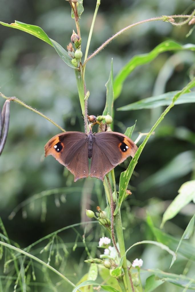 クロコノマチョウの羽化と開翅のラッシュ_e0224357_20211301.jpg