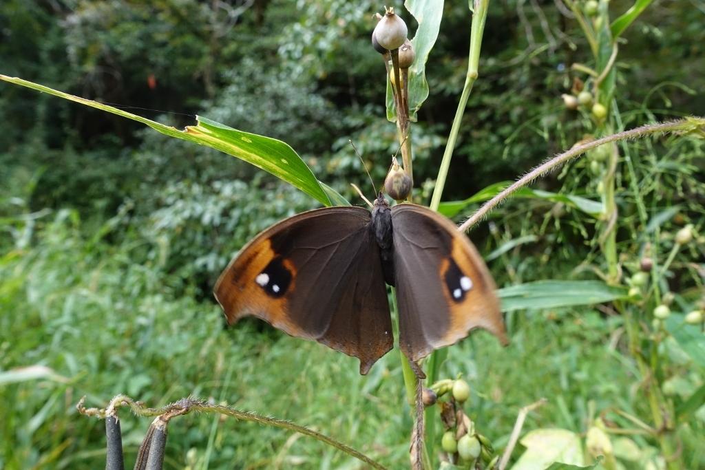クロコノマチョウの羽化と開翅のラッシュ_e0224357_20230278.jpg