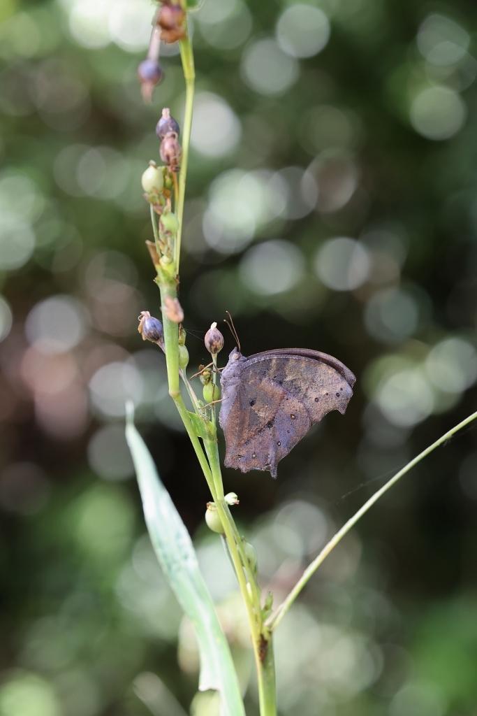 クロコノマチョウの羽化と開翅のラッシュ_e0224357_20243849.jpg