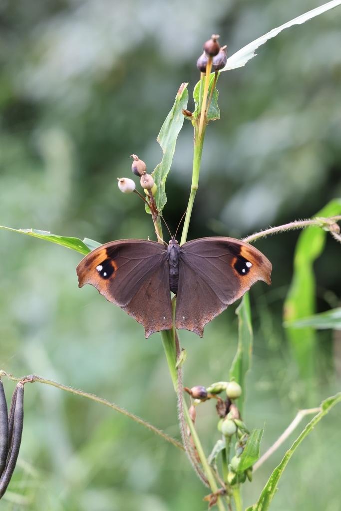 クロコノマチョウの羽化と開翅のラッシュ_e0224357_20281836.jpg