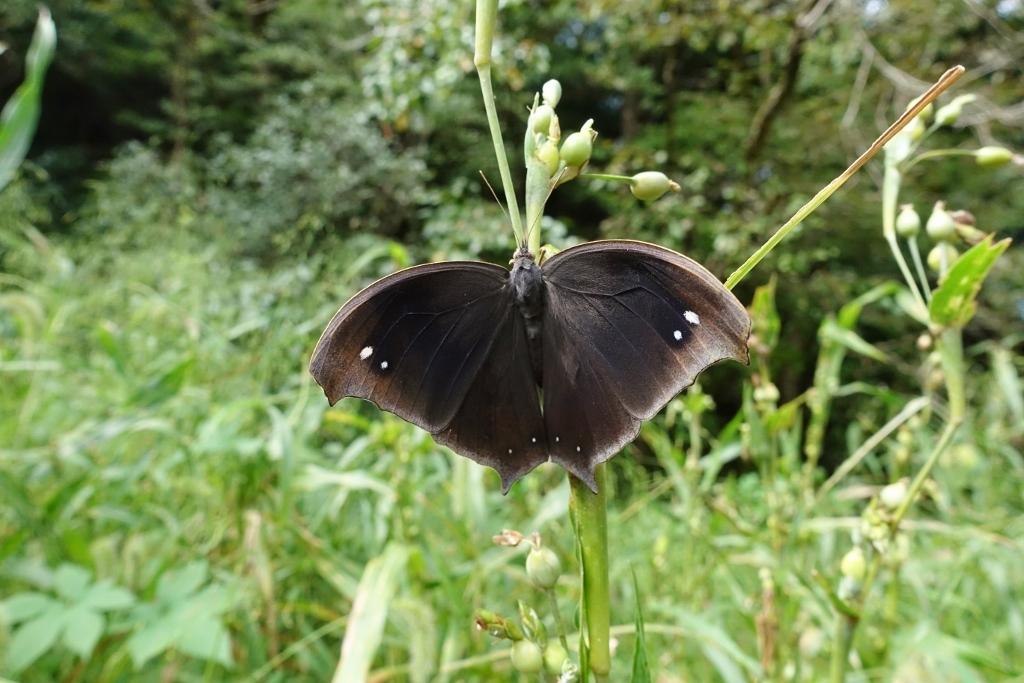 クロコノマチョウの羽化と開翅のラッシュ_e0224357_20320426.jpg
