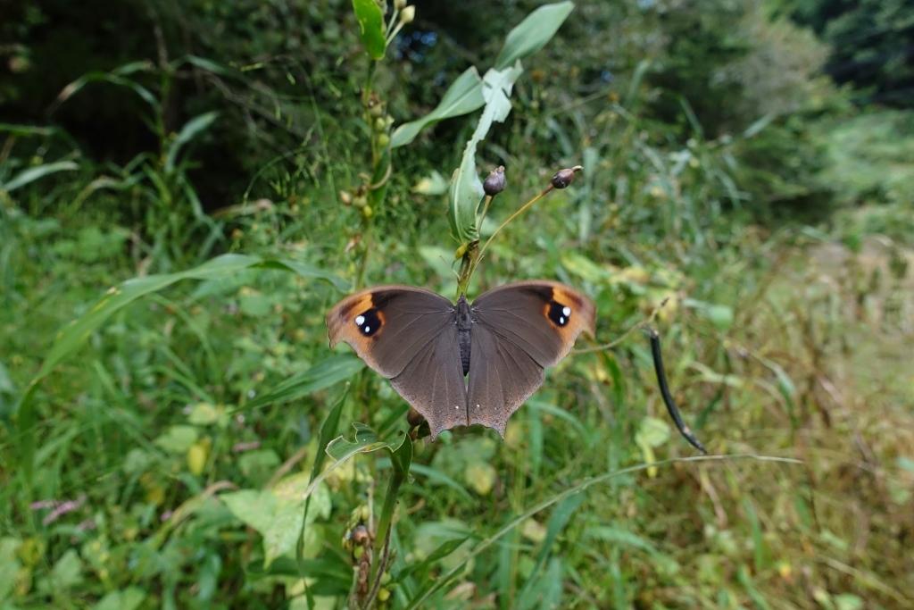 クロコノマチョウの羽化と開翅のラッシュ_e0224357_20392161.jpg
