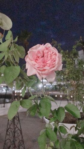 今咲いている可愛いバラとか仕立ての話とか_b0212911_22503727.jpeg