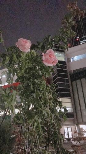 今咲いている可愛いバラとか仕立ての話とか_b0212911_23031864.jpeg