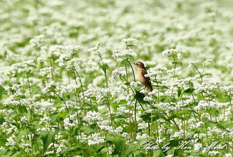白い蕎麦の花畑で「ノビタキ」さん♪ ーCanon編ー_e0218518_21371127.jpg