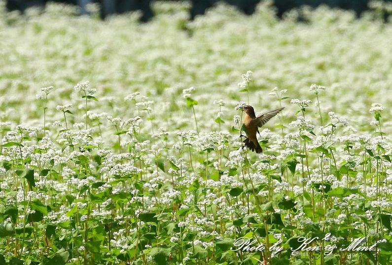 白い蕎麦の花畑で「ノビタキ」さん♪ ーCanon編ー_e0218518_21392729.jpg
