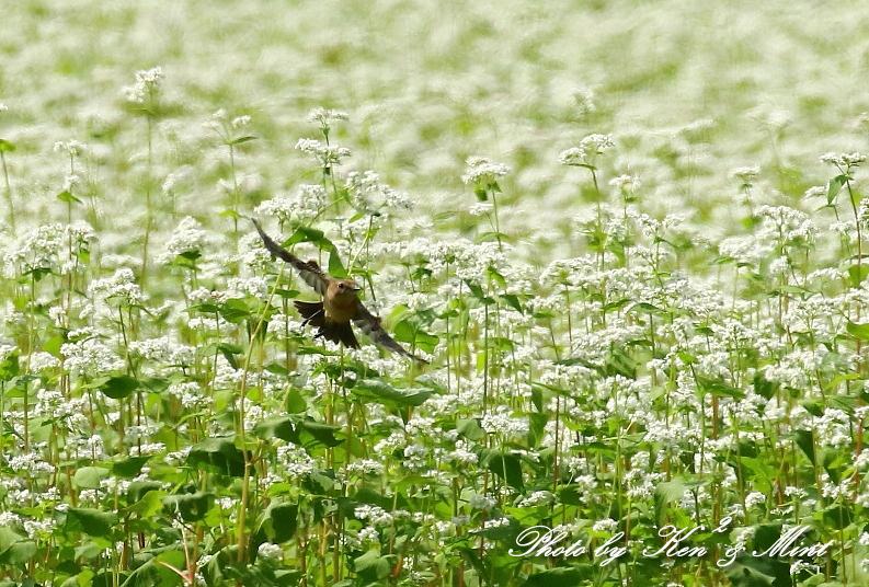 白い蕎麦の花畑で「ノビタキ」さん♪ ーCanon編ー_e0218518_21394110.jpg