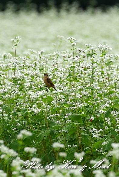 白い蕎麦の花畑で「ノビタキ」さん♪ ーCanon編ー_e0218518_21400913.jpg
