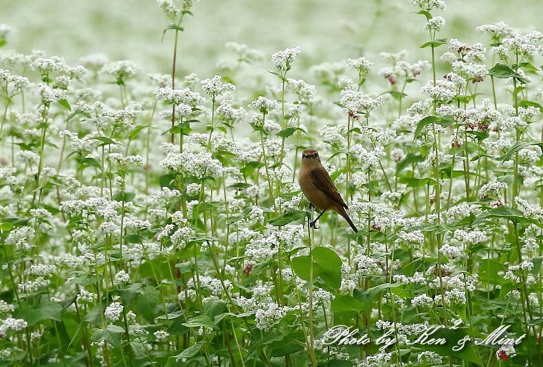 白い蕎麦の花畑で「ノビタキ」さん♪ ーCanon編ー_e0218518_21402140.jpg
