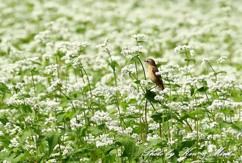 白い蕎麦の花畑で「ノビタキ」さん♪ ーCanon編ー_e0218518_21421357.jpg