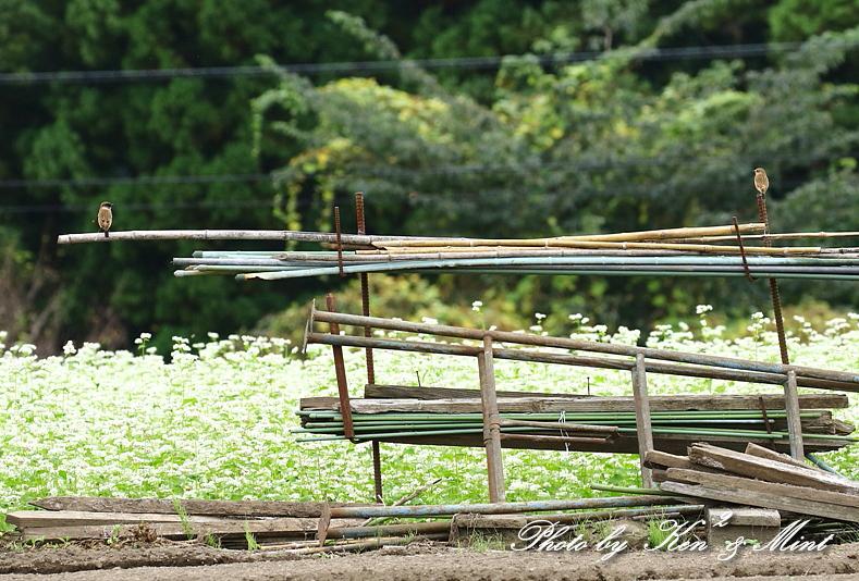 白い蕎麦の花畑で「ノビタキ」さん♪ ーCanon編ー_e0218518_21434085.jpg