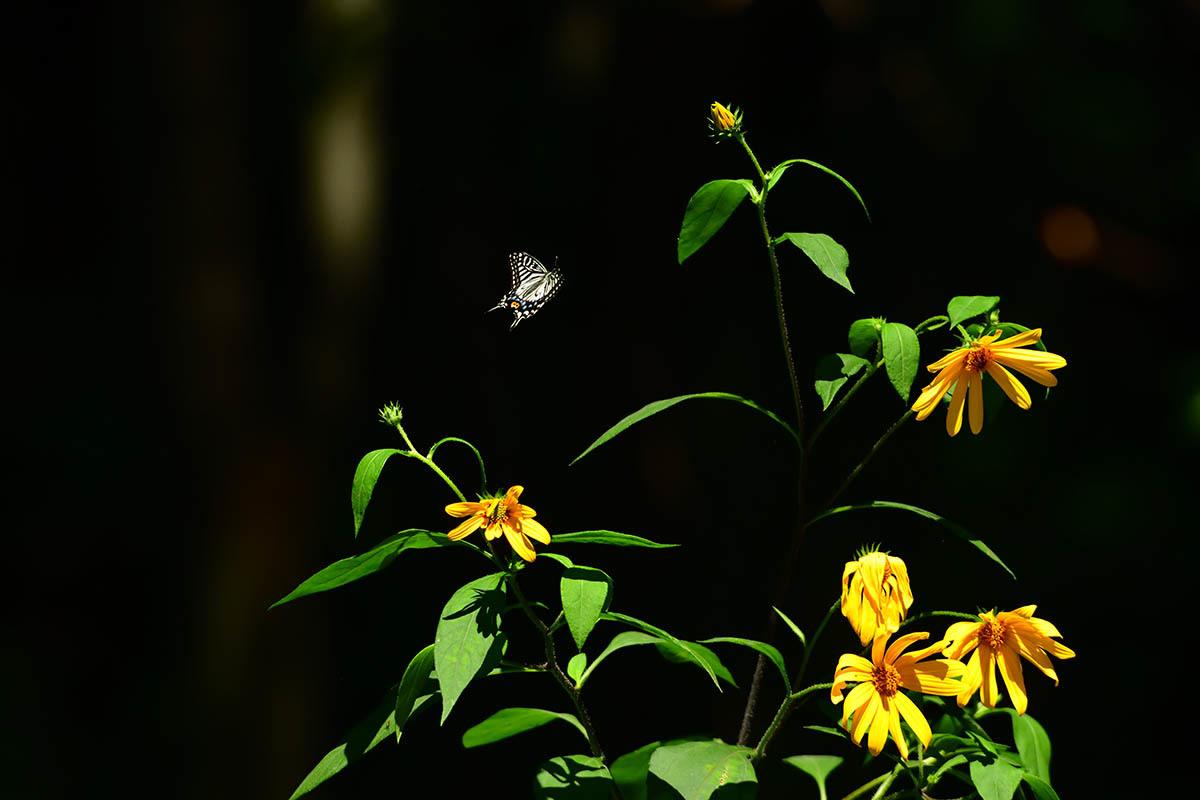第50候 菊の花開く_a0059621_17354460.jpg
