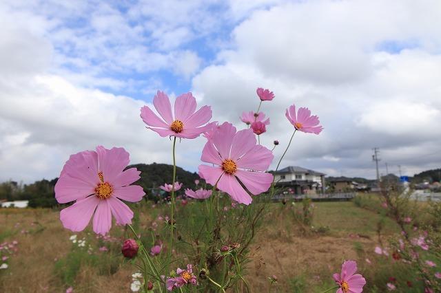 花開道のコスモスの花(その1)(撮影:10月11日)_e0321325_14310575.jpg