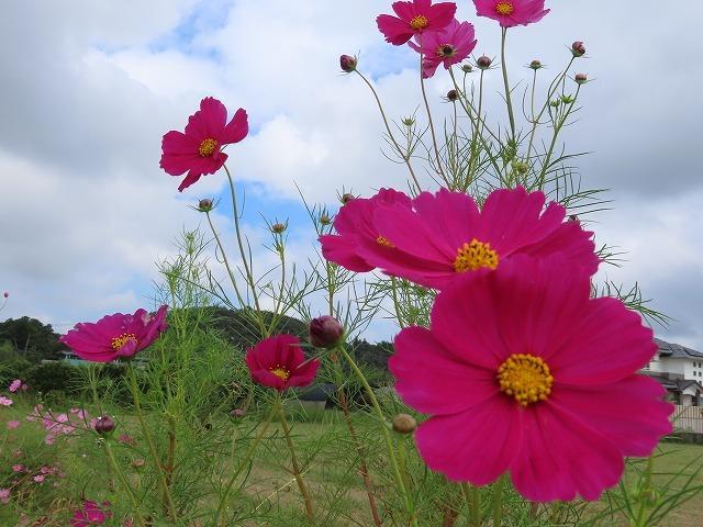 花開道のコスモスの花(その1)(撮影:10月11日)_e0321325_14312511.jpg