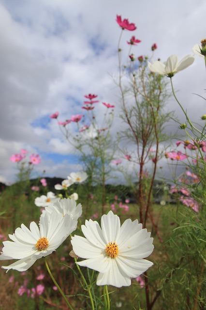 花開道のコスモスの花(その1)(撮影:10月11日)_e0321325_14313883.jpg