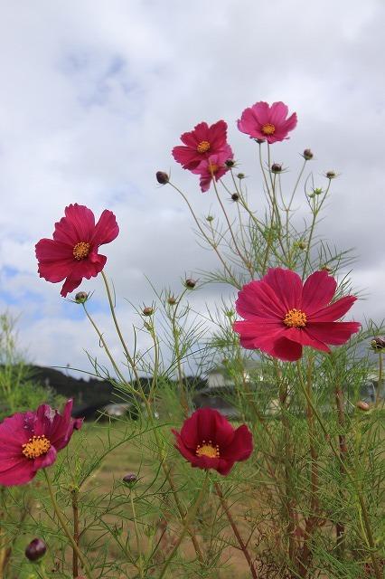 花開道のコスモスの花(その1)(撮影:10月11日)_e0321325_14320417.jpg
