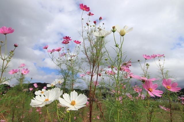 花開道のコスモスの花(その1)(撮影:10月11日)_e0321325_14321770.jpg