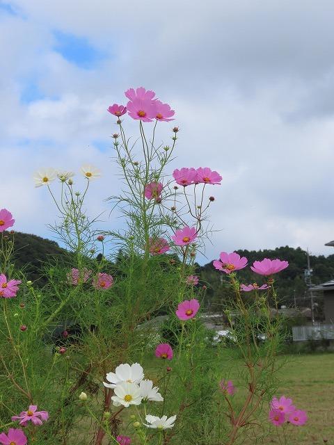 花開道のコスモスの花(その1)(撮影:10月11日)_e0321325_14322900.jpg