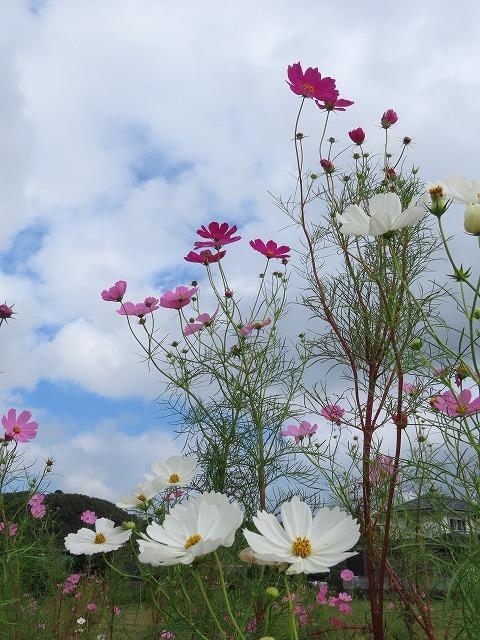 花開道のコスモスの花(その1)(撮影:10月11日)_e0321325_14324100.jpg