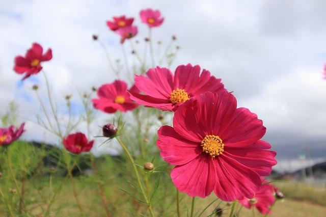 花開道のコスモスの花(その1)(撮影:10月11日)_e0321325_14325597.jpg