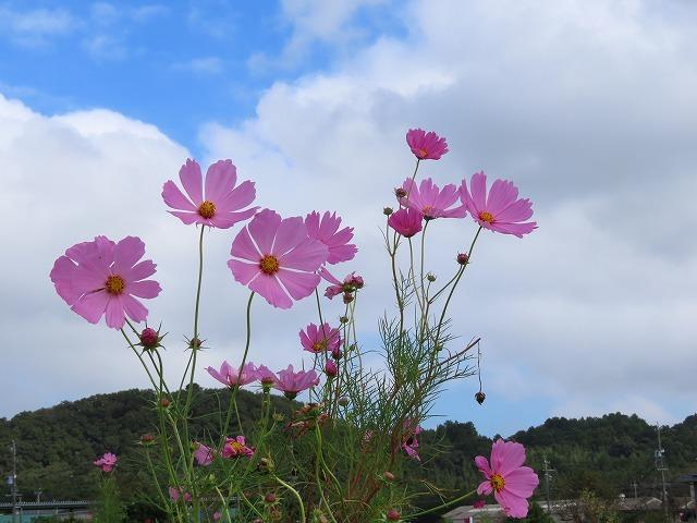 花開道のコスモスの花(その1)(撮影:10月11日)_e0321325_14330797.jpg
