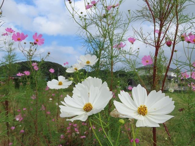 花開道のコスモスの花(その2)(撮影:10月11日)_e0321325_14541745.jpg