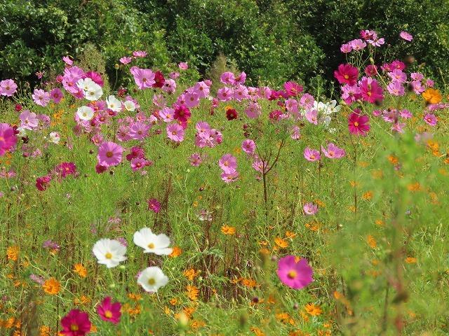 花開道のコスモスの花(その2)(撮影:10月11日)_e0321325_14542935.jpg