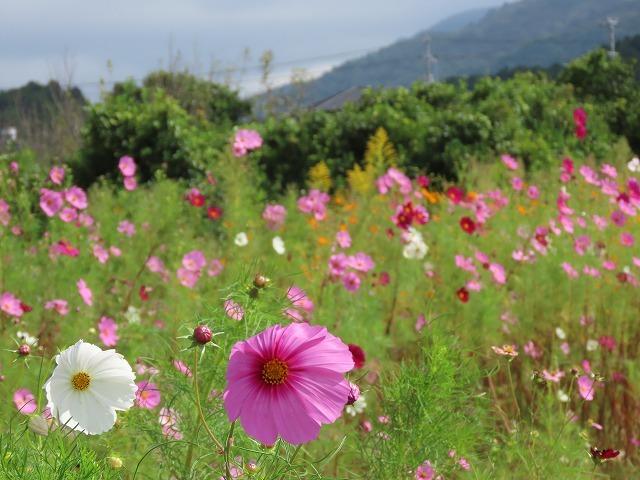 花開道のコスモスの花(その2)(撮影:10月11日)_e0321325_14544110.jpg