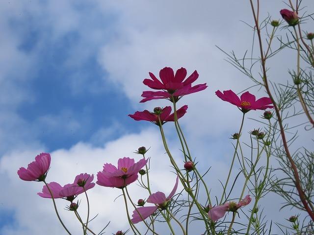 花開道のコスモスの花(その2)(撮影:10月11日)_e0321325_14545312.jpg
