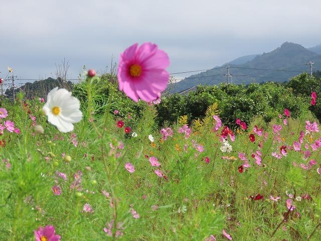 花開道のコスモスの花(その2)(撮影:10月11日)_e0321325_14550489.jpg