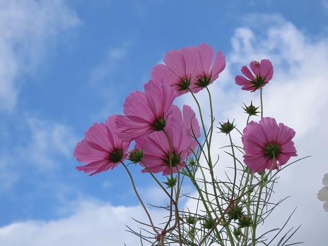 花開道のコスモスの花(その2)(撮影:10月11日)_e0321325_14552775.jpg