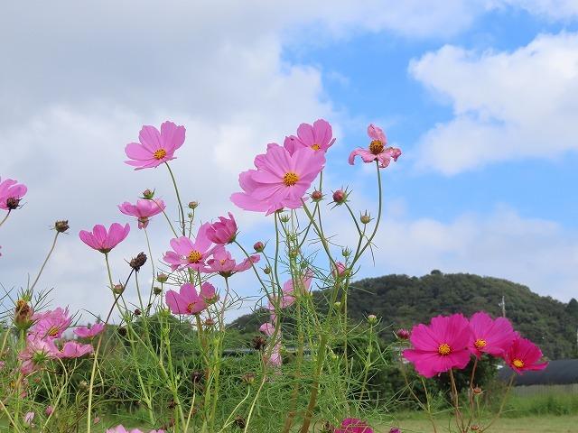 花開道のコスモスの花(その2)(撮影:10月11日)_e0321325_14553942.jpg