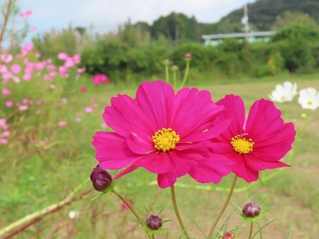 花開道のコスモスの花(その2)(撮影:10月11日)_e0321325_14555049.jpg