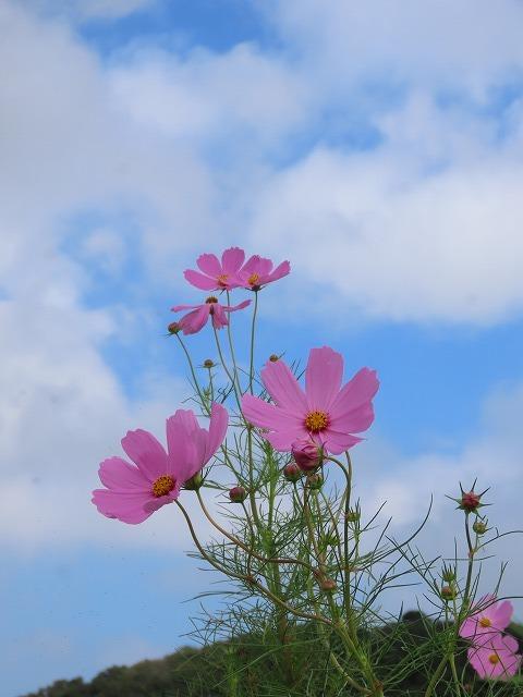 花開道のコスモスの花(その2)(撮影:10月11日)_e0321325_14560105.jpg